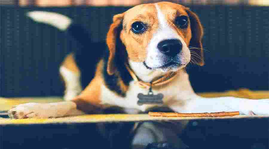 Beagles dog breed