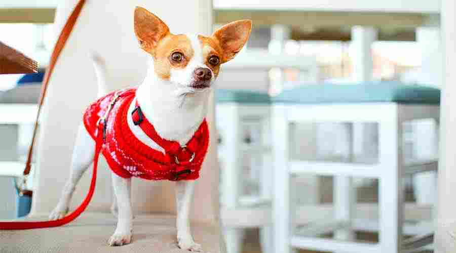 Chihuahua cute dog breed
